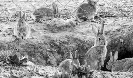 Efectos del confinamiento: los conejos amenazan la cosecha de uva