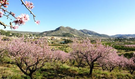 Del abandono y la amenaza de la Xylella a las más de 12.000 visitas al 'Feslalí, Alcalalí en flor'
